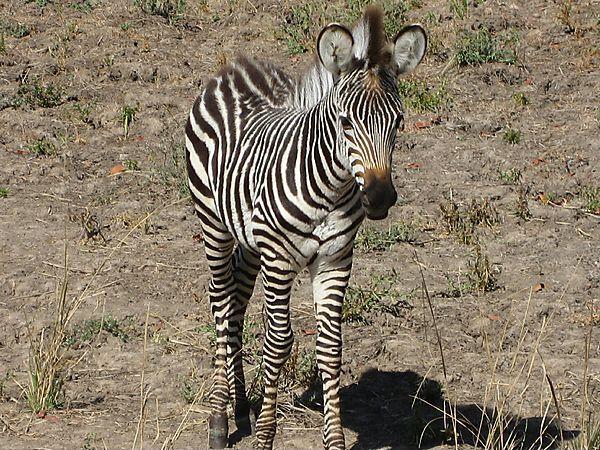 Baby Zebras In Africa Baby Zebra, Zambia pho...