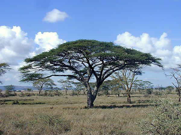 Acacia Tree Tanzania Photo Serengeti National Park Tanzania
