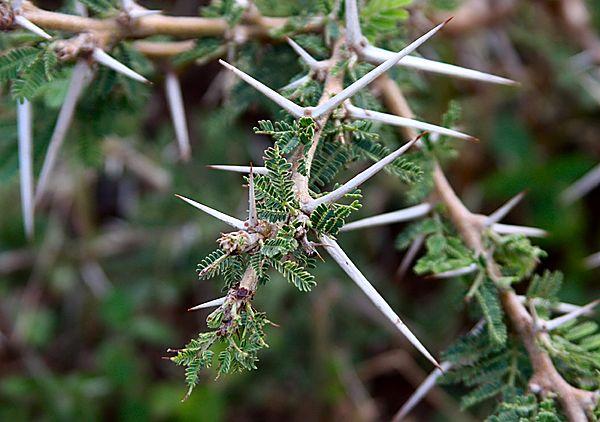 Image - Acacia covenyi (Blue Bush)   BioLib.cz
