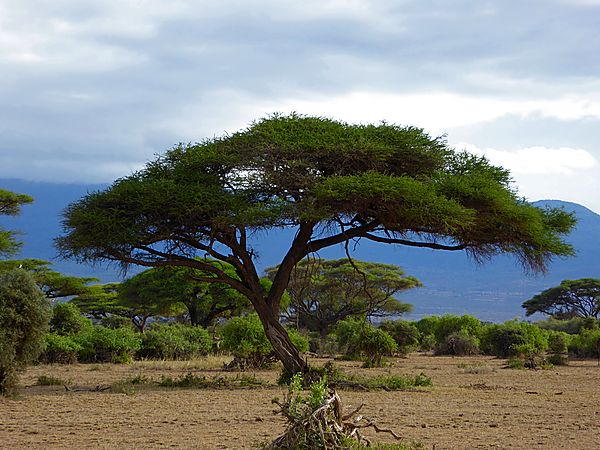 Acacia Tree in Amboseli