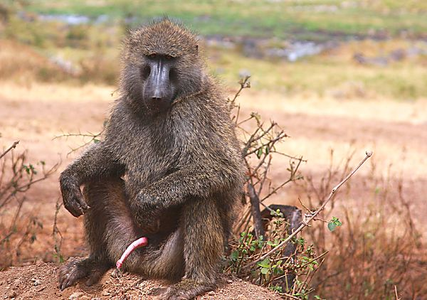 Baboon showing off