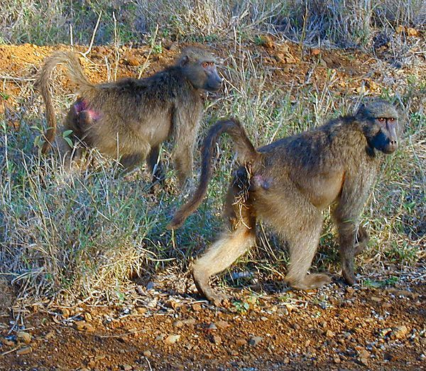 Baboons, South Africa