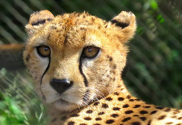Eyes of a Cheetah