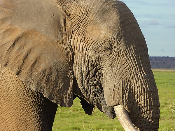 Close-up of Elephant in Amboseli