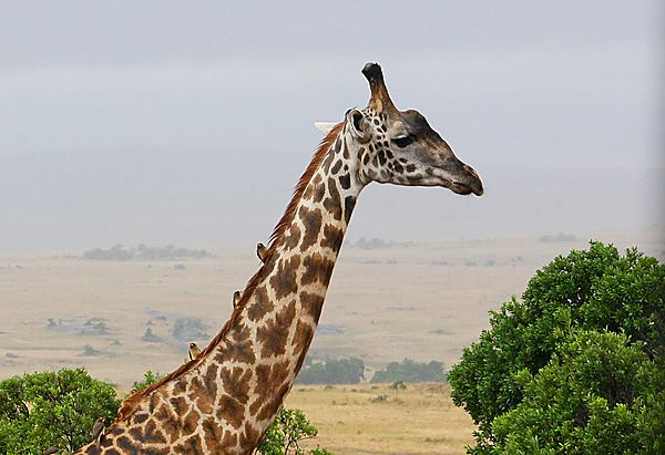 Giraffe with Oxpeckers on its neck