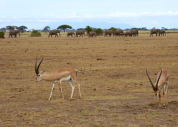 Grants Gazelle with Elephants in the background
