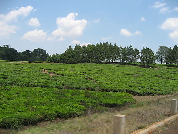 Tea Estate In Thyolo