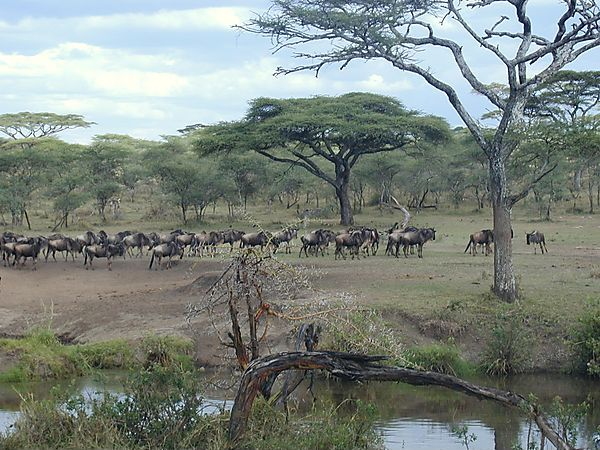 Wildebeest Herd in Serengeti National Park, Tanzania