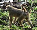 Baboon, Zambia