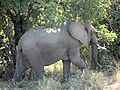 Elephant In South Luangwa National Park, Zambia