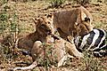 Lions at a zebra kill