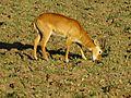 Puku Antelope, Zambia