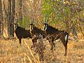 Liwonde National Park - Sable Antelope