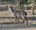 Waterbuck, Zambia