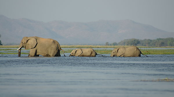 Elephants Wading To An Island