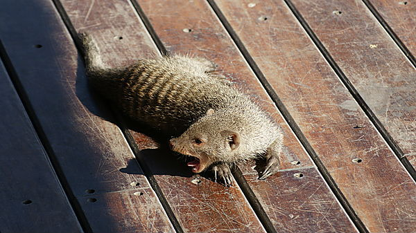 Ophan Mongoose At The Hide