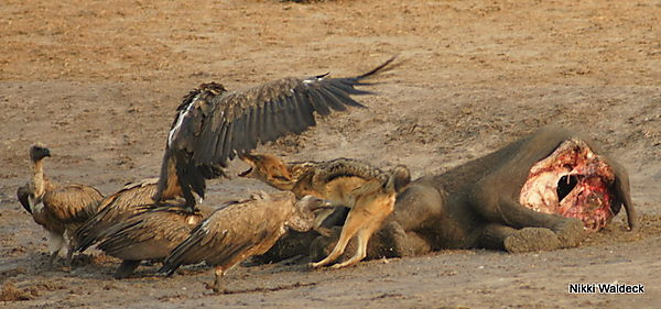 Scavengers At A Carcass - Lion Kill