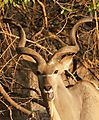 Kudu Bull - Having A Laugh