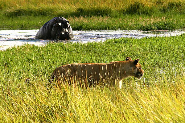 Hippo Warns Off Lioness