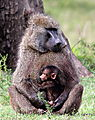 Baby Baboon And Dad