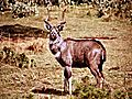 Mountain Nyala Endemic To Ethiopia