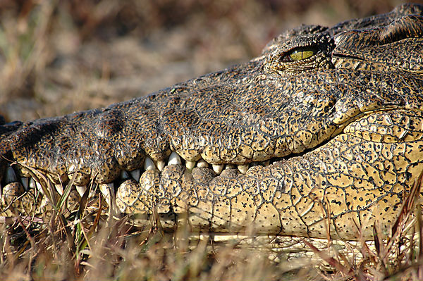Crocodile At The Chobe River