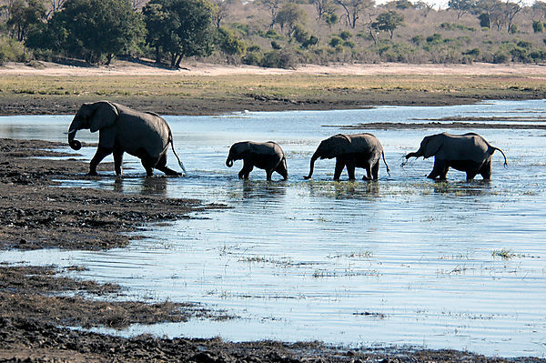 Group Of Elephants, Chobe River