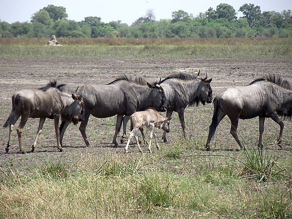 Wildebeest With Baby