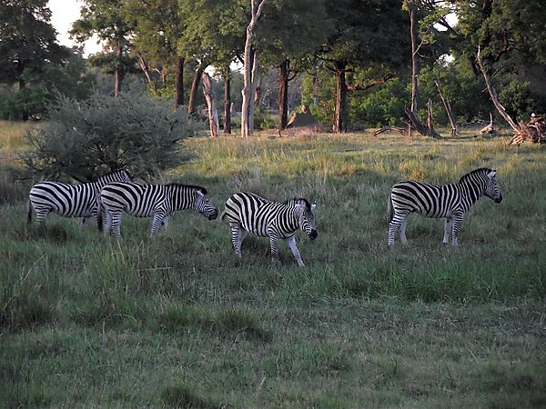 Zebra Grazing In Moremi