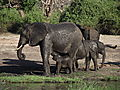 Elephant Calf Drinking