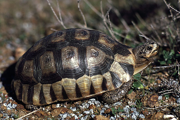 Angolate, or bowsprit, tortoise