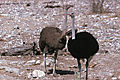 Ostrich Pair - Female Left, Male Right