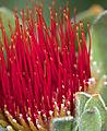 Protea, Kirstenbosch Nbi