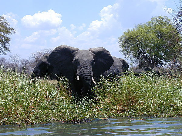 Elephant Eating Rushes