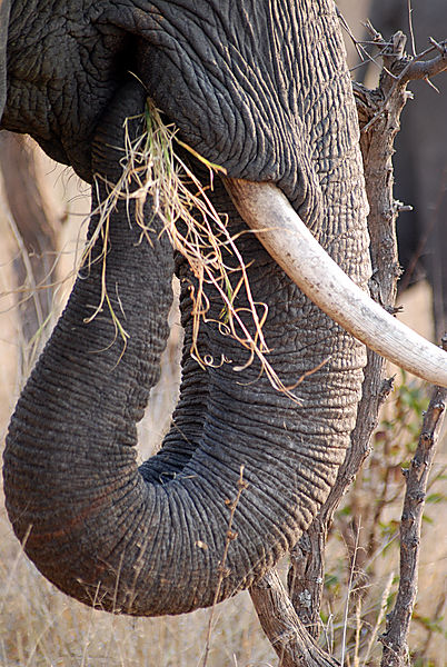 Elephant close-up
