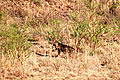 Brown Hyena in Pilanesburg