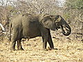 Elephant at Sable Sands near Hwange NP.