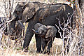 Elephant mom and calf