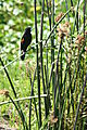 fan tailed widowbird