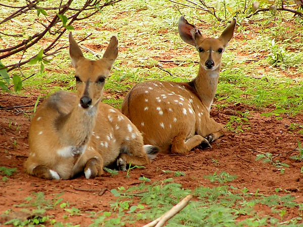Two Curious Bushbucks