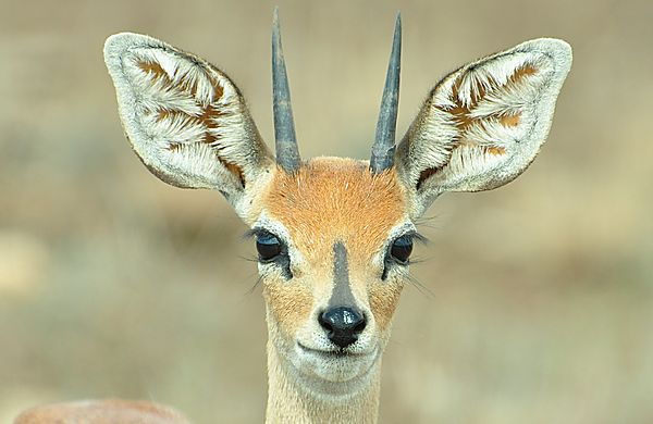 an alert steenbok