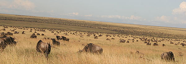 Great wildebeest Migration in Serengeti National Park