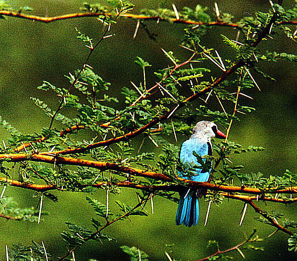 Wooded Kingfisher