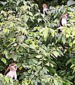 Mona Monkeys at Boabeng-Fiema sanctuary, Techiman