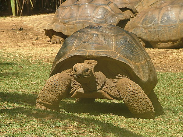 Giant Tortoise At La Vanille Crocodile Park