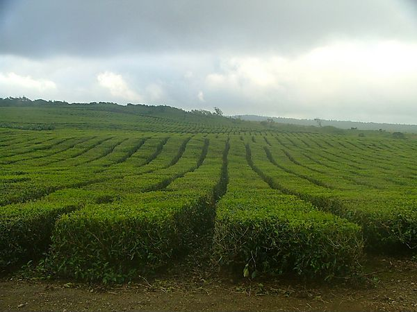Tea Plantation Near Grand Bassin