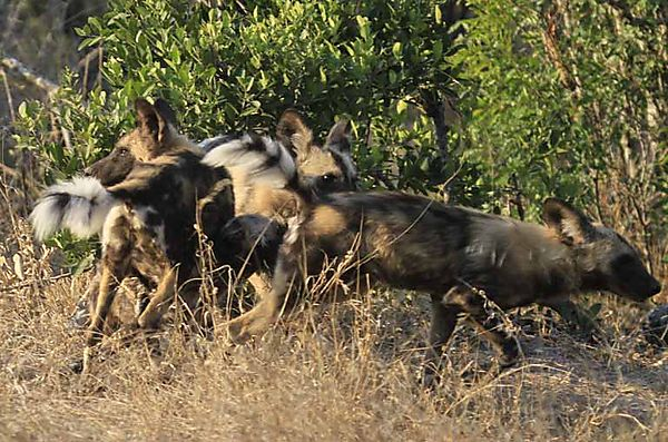 African wild dogs 7