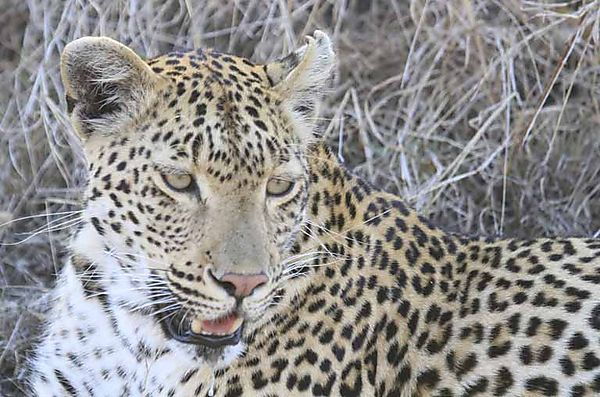 Leopard 12