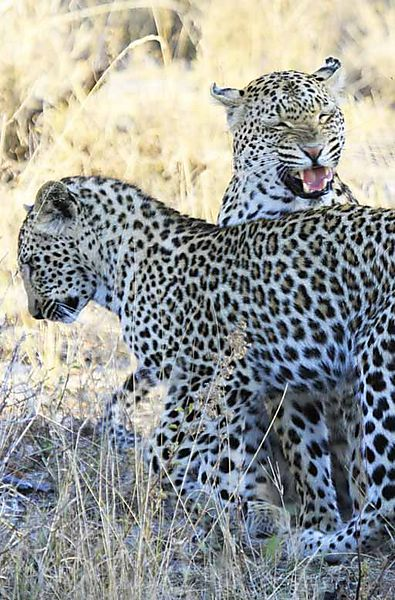 Leopard 22