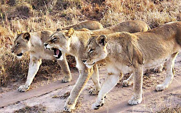 Lion Sabi 11